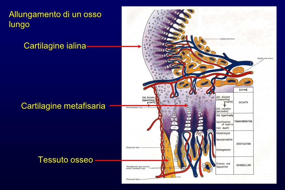 Allungamento di un osso lungo Cartilagine ialina Cartilagine metafisaria Tessuto osseo