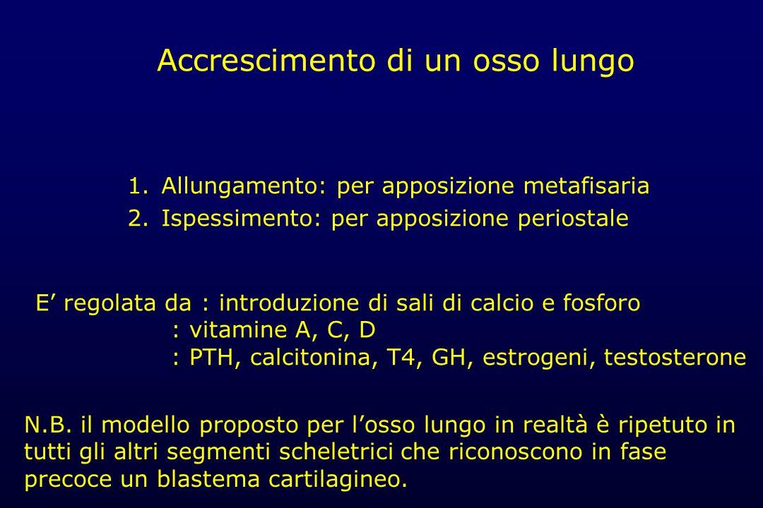 Accrescimento di un osso lungo 1.Allungamento: per apposizione metafisaria 2.Ispessimento: per apposizione periostale E regolata da : introduzione di