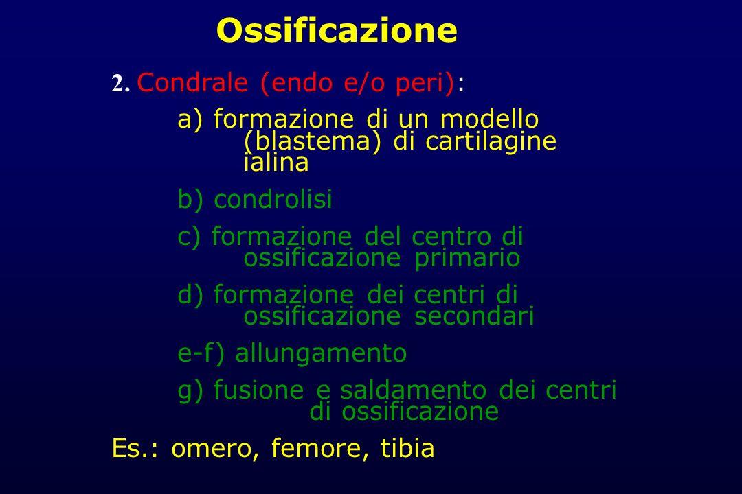 2. Condrale (endo e/o peri): a) formazione di un modello (blastema) di cartilagine ialina b) condrolisi c) formazione del centro di ossificazione prim