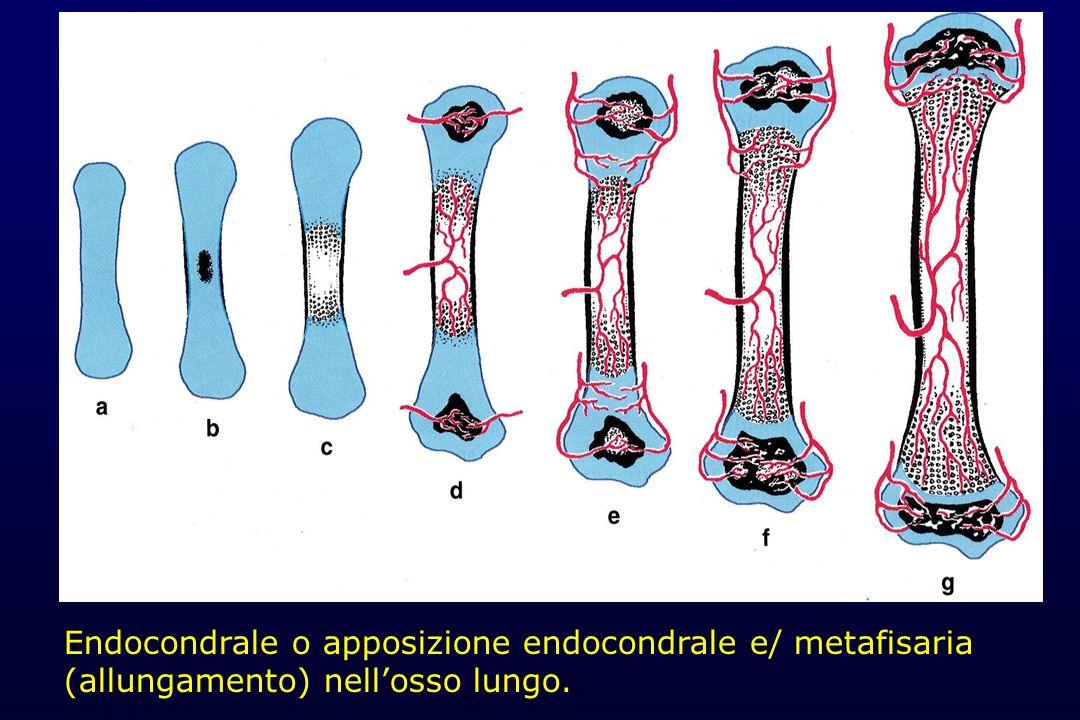 Endocondrale o apposizione endocondrale e/ metafisaria (allungamento) nellosso lungo.