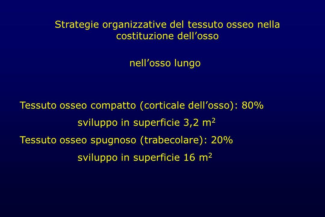 Tessuto osseo compatto (corticale dellosso): 80% sviluppo in superficie 3,2 m 2 Tessuto osseo spugnoso (trabecolare): 20% sviluppo in superficie 16 m