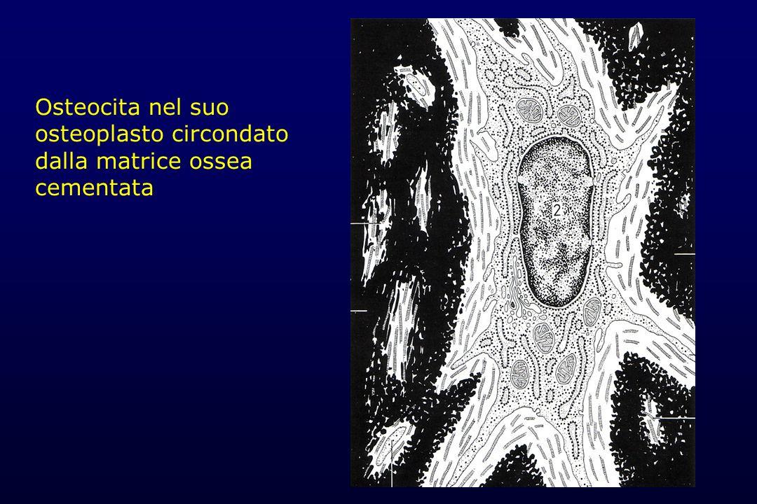 Osteocita nel suo osteoplasto circondato dalla matrice ossea cementata