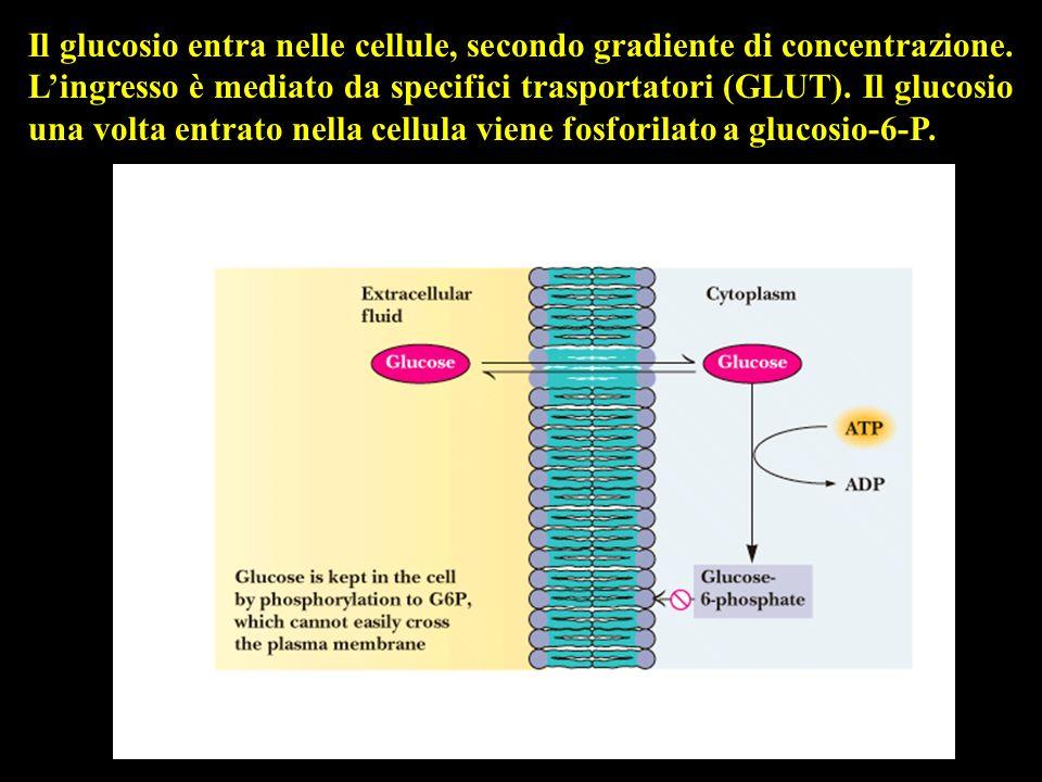 Il glucosio entra nelle cellule, secondo gradiente di concentrazione. Lingresso è mediato da specifici trasportatori (GLUT). Il glucosio una volta ent