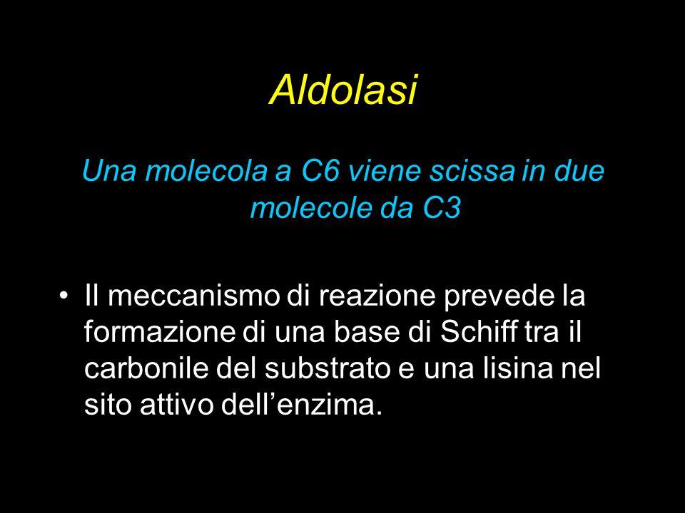Aldolasi Una molecola a C6 viene scissa in due molecole da C3 Il meccanismo di reazione prevede la formazione di una base di Schiff tra il carbonile d