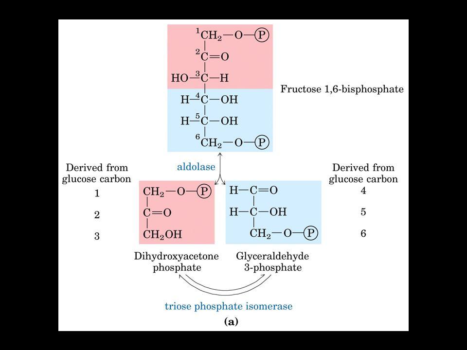 Trioso fosfato isomerasi Il Diossiacetone-P viene convertito in Gliceraldeide 3-P