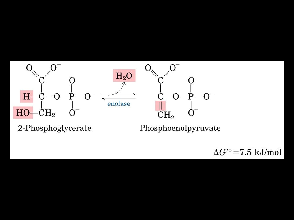 Piruvato chinasi Nella reazione da PEP a Piruvico si forma una molecola di ATP Lenzima è attivato allostericamente da AMP e F-1,6-P e inibito da ATP e acetil-CoA