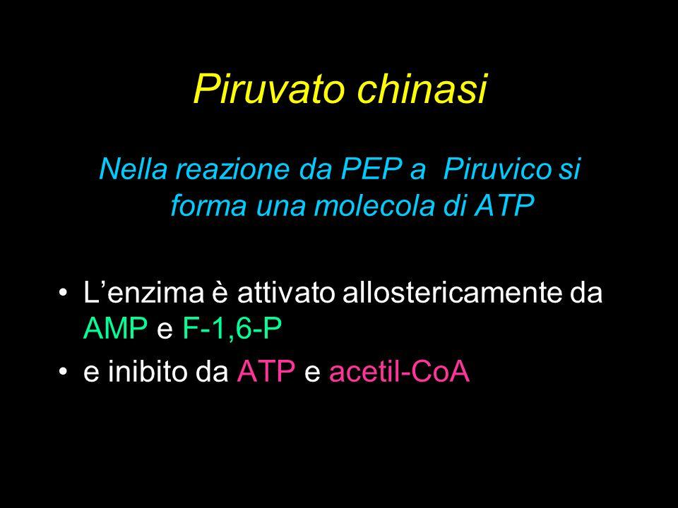 Piruvato chinasi Nella reazione da PEP a Piruvico si forma una molecola di ATP Lenzima è attivato allostericamente da AMP e F-1,6-P e inibito da ATP e