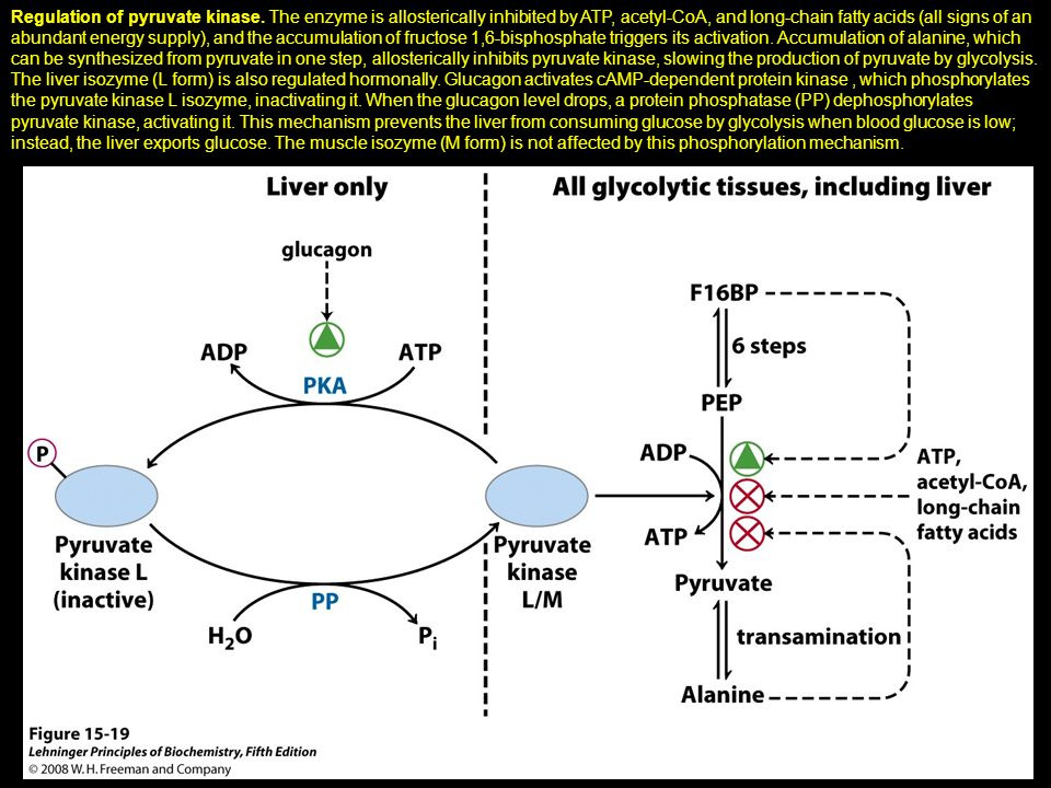 Regulation of pyruvate kinase. The enzyme is allosterically inhibited by ATP, acetyl-CoA, and long-chain fatty acids (all signs of an abundant energy