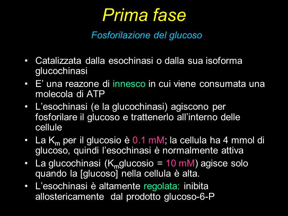 Prima fase Fosforilazione del glucoso Catalizzata dalla esochinasi o dalla sua isoforma glucochinasi E una reazone di innesco in cui viene consumata u