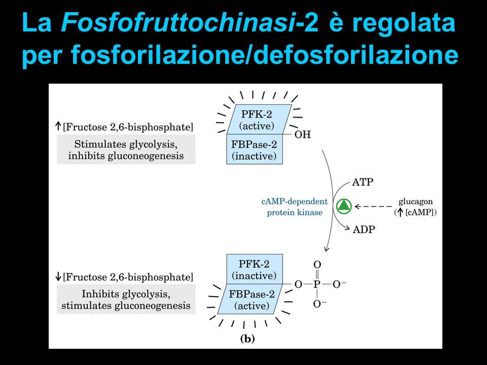 La Fosfofruttochinasi-2 è regolata per fosforilazione/defosforilazione