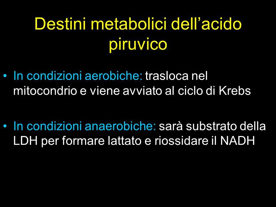 Destini metabolici dellacido piruvico In condizioni aerobiche: trasloca nel mitocondrio e viene avviato al ciclo di Krebs In condizioni anaerobiche: s