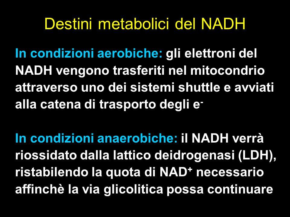 In condizioni aerobiche: gli elettroni del NADH vengono trasferiti nel mitocondrio attraverso uno dei sistemi shuttle e avviati alla catena di traspor