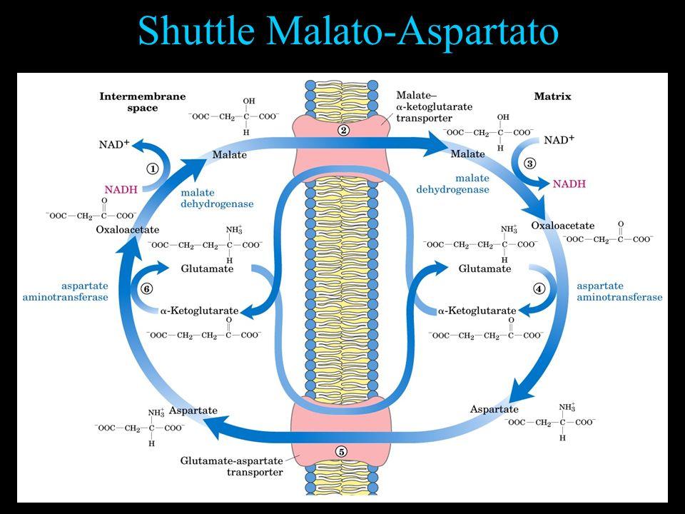 Shuttle Malato-Aspartato