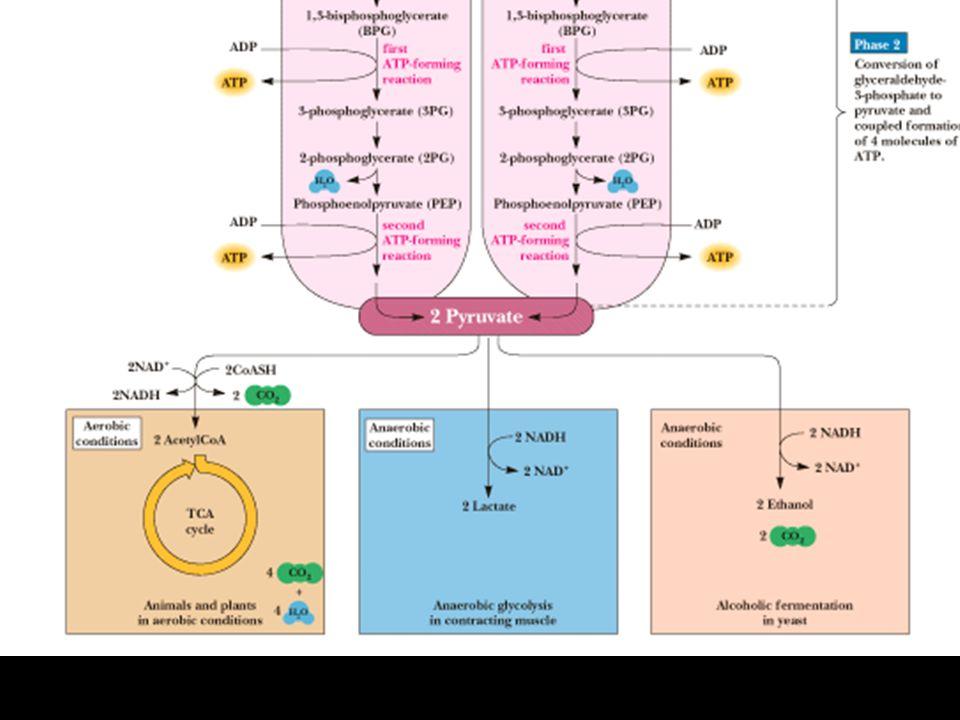 FASE I una molecola di glucoso viene convertita in due molecole di Gliceraldeide-3-P