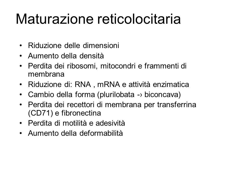 Riduzione delle dimensioni Aumento della densità Perdita dei ribosomi, mitocondri e frammenti di membrana Riduzione di: RNA, mRNA e attività enzimatic