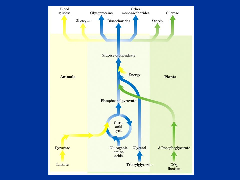Piruvico, lattato, glicerolo, aminoacidi, intermedi del ciclo di Krebs possono essere utilizzati nella glucogenesi Gli acidi grassi non possono essere utilizzati nella glucogenesi perché producono solo acetil-coA che non può essere riconvertito a glucosio