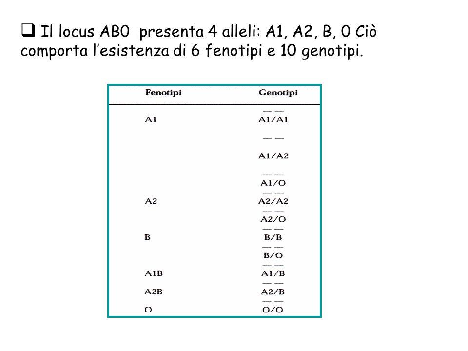Il locus AB0 presenta 4 alleli: A1, A2, B, 0 Ciò comporta lesistenza di 6 fenotipi e 10 genotipi.