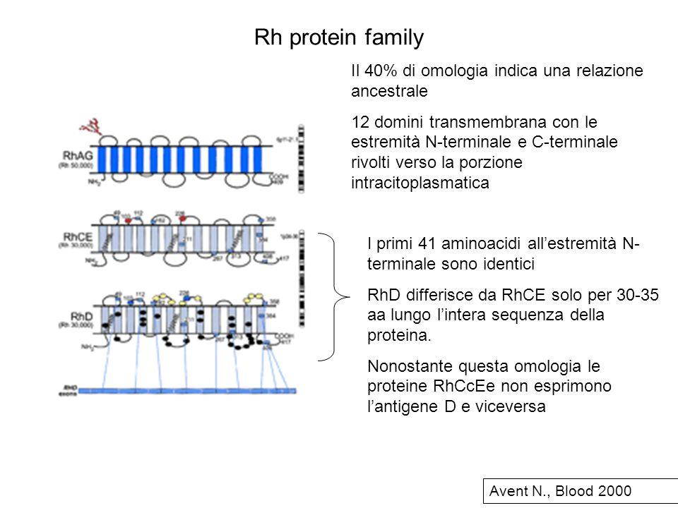 Rh protein family Il 40% di omologia indica una relazione ancestrale 12 domini transmembrana con le estremità N-terminale e C-terminale rivolti verso