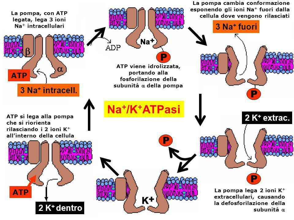 Na + /K + ATPasi 2 K + dentro ATP ATP si lega alla pompa che si riorienta rilasciando i 2 ioni K + allinterno della cellula ATP viene idrolizzata, por