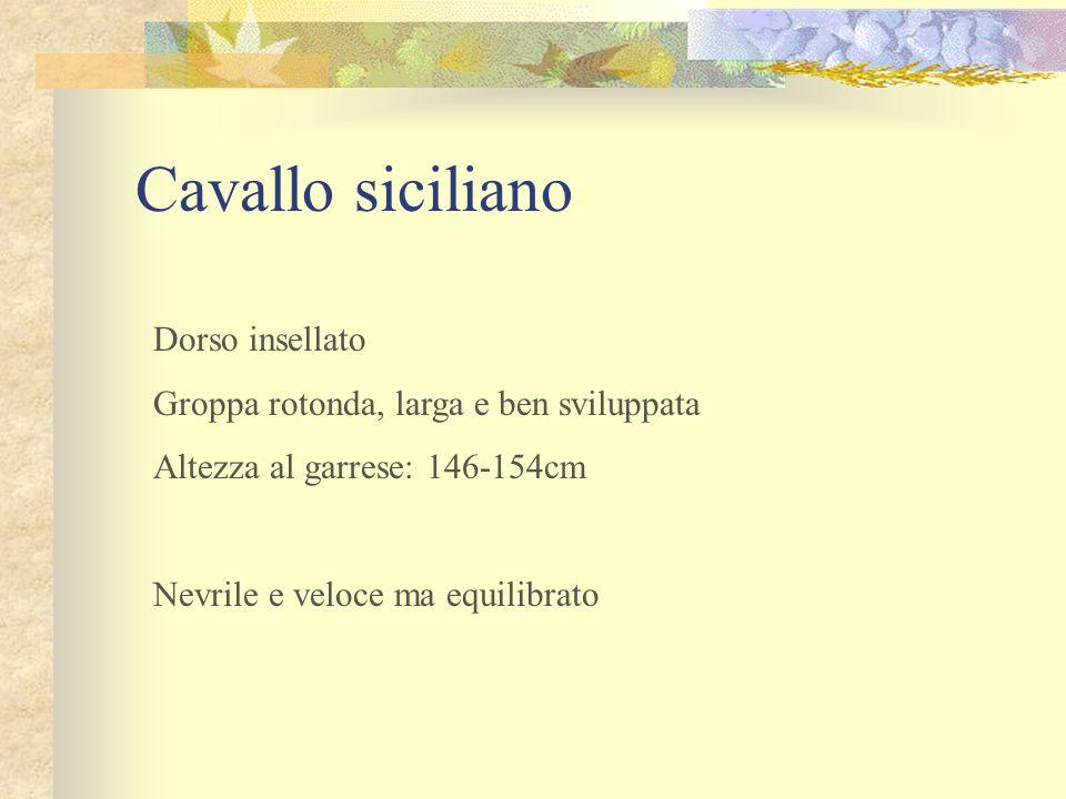 Cavallo siciliano Dorso insellato Groppa rotonda, larga e ben sviluppata Altezza al garrese: 146-154cm Nevrile e veloce ma equilibrato