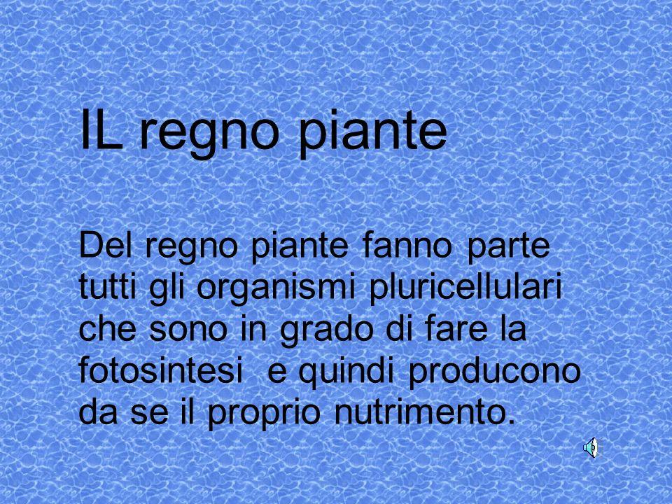 IL regno piante Del regno piante fanno parte tutti gli organismi pluricellulari che sono in grado di fare la fotosintesi e quindi producono da se il proprio nutrimento.