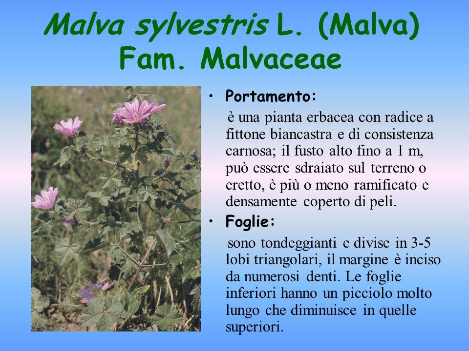 Droga: lintera pianta ed il rizoma Quando si raccoglie: la pianta si raccoglie da aprile a settembre, tagliandola 10 cm al di sopra del terreno e riunendola in mazzi.