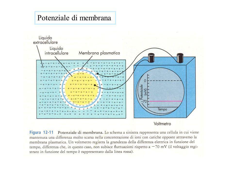 Riferendoci allesempio A visto prima, nel quale viene ipotizzato un potenziale di diffusione generato dallineguale concentrazio- ne di NaCl ai due lati della membrana diversamente permeabile al Na + e al Cl -, allequilibrio elettrico, quando la corrente attraverso la membrana globale dei due ioni è nulla, cioè quando si ha luguaglianza dei due flussi ionici, F Na = F Cl, il potenziale di membrana V m può essere descritto dallequazione: V m ln P Na [Na + ] 1 + P Cl [Cl - ] 2 P Na [Na + ] 2 + P Cl [Cl - ] 1 RT F = che viene detta equazione di Goldman per il potenziale o equazione di Goldman, Hodgkin e Katz.