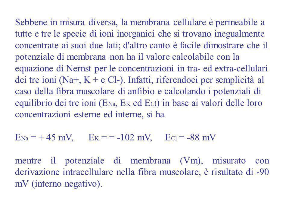 Sebbene in misura diversa, la membrana cellulare è permeabile a tutte e tre le specie di ioni inorganici che si trovano inegualmente concentrate ai su