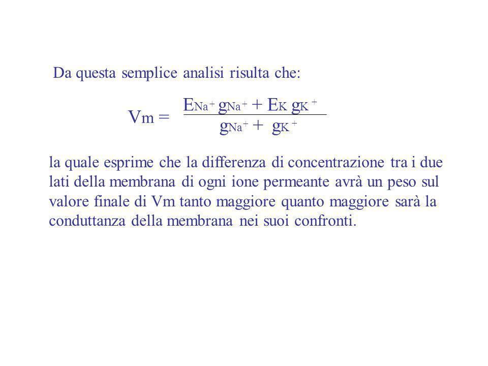 Da questa semplice analisi risulta che: V m = E Na g Na + E K g K g Na + g K + + + - + + la quale esprime che la differenza di concentrazione tra i du
