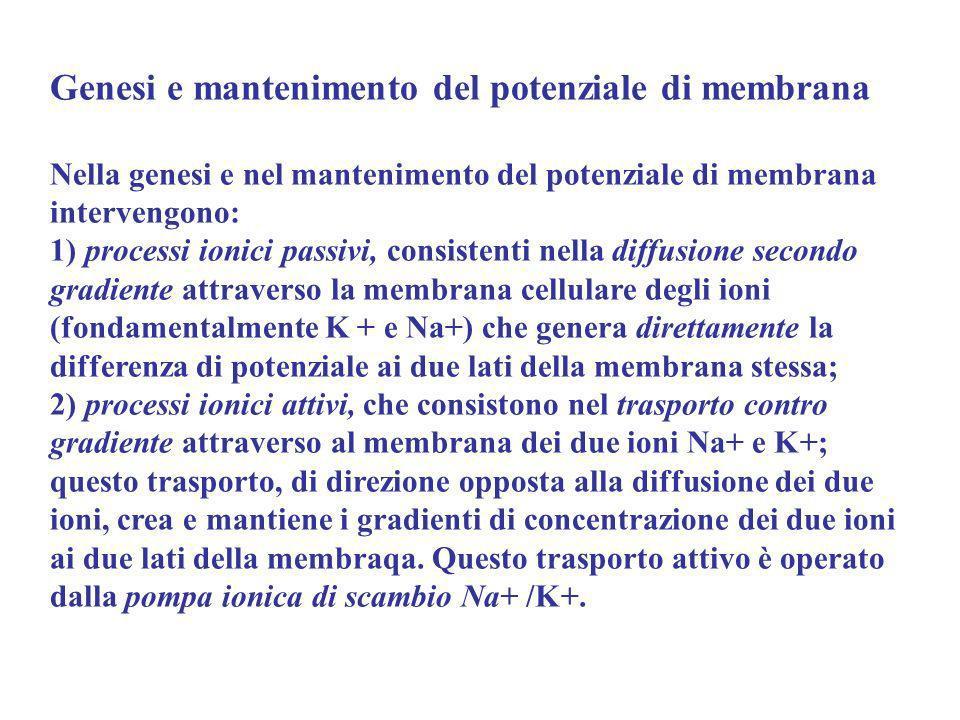 Genesi e mantenimento del potenziale di membrana Nella genesi e nel mantenimento del potenziale di membrana intervengono: 1) processi ionici passivi,