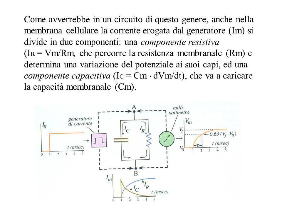 Come avverrebbe in un circuito di questo genere, anche nella membrana cellulare la corrente erogata dal generatore (Im) si divide in due componenti: u