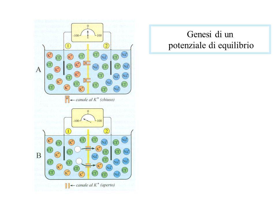 Sebbene in misura diversa, la membrana cellulare è permeabile a tutte e tre le specie di ioni inorganici che si trovano inegualmente concentrate ai suoi due lati; d altro canto è facile dimostrare che il potenziale di membrana non ha il valore calcolabile con la equazione di Nernst per le concentrazioni in tra- ed extra-cellulari dei tre ioni (Na+, K + e Cl-).