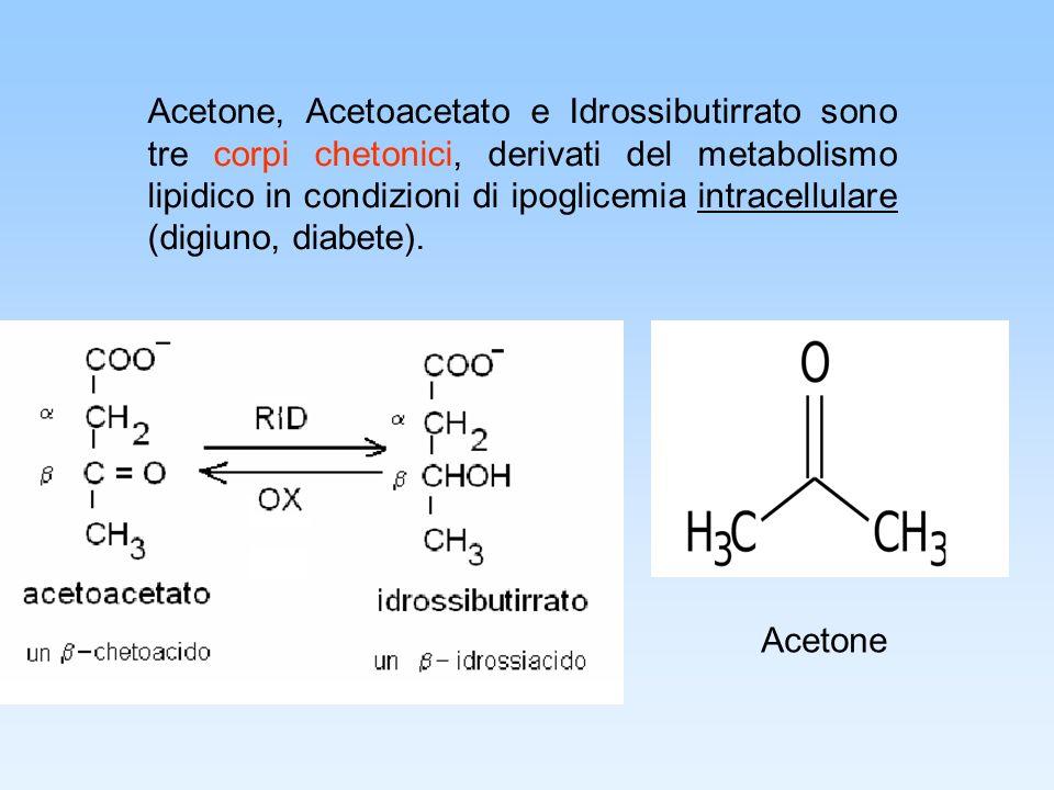 Acetone, Acetoacetato e Idrossibutirrato sono tre corpi chetonici, derivati del metabolismo lipidico in condizioni di ipoglicemia intracellulare (digi