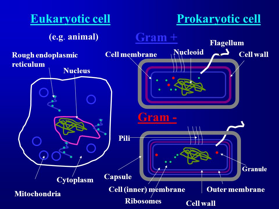 Eukaryotic cellProkaryotic cell Gram + Gram - Cell wall Rough endoplasmic reticulum Mitochondria (e.g. animal) Nucleoid Nucleus Cell membrane Cytoplas