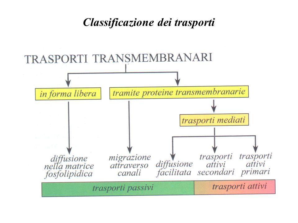 Dipendenza del trasporto attivo secondario dal trasporto attivo primario