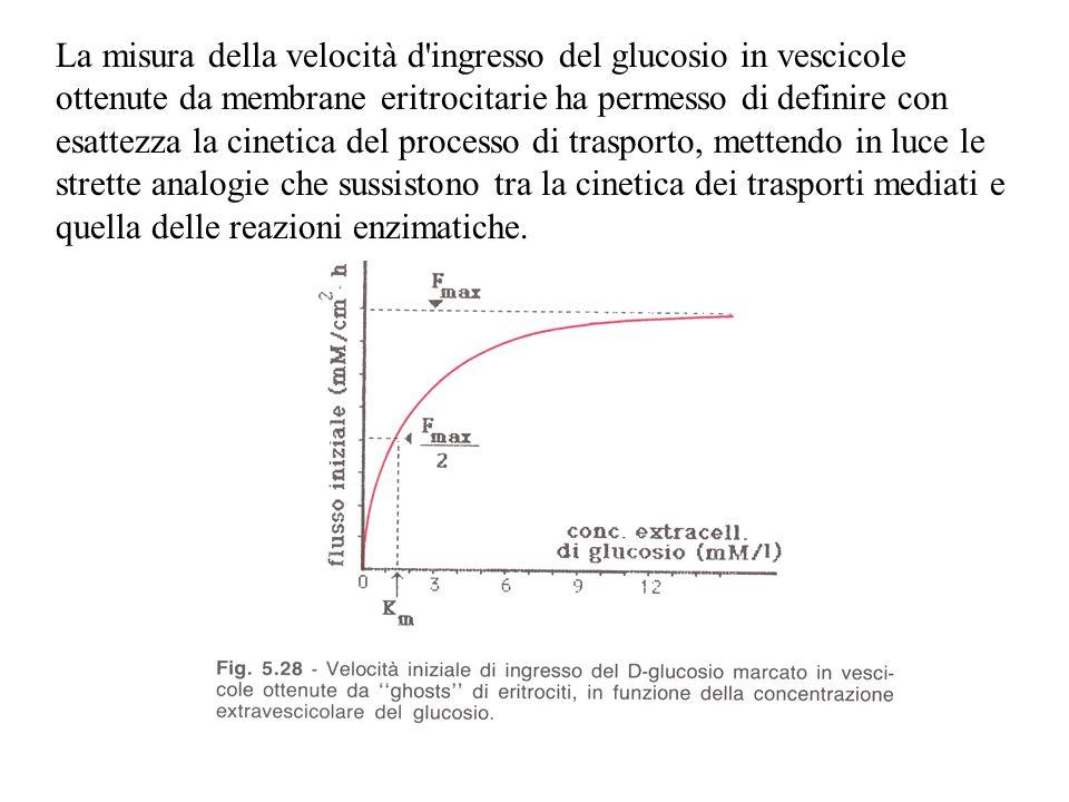 La misura della velocità d'ingresso del glucosio in vescicole ottenute da membrane eritrocitarie ha permesso di definire con esattezza la cinetica del