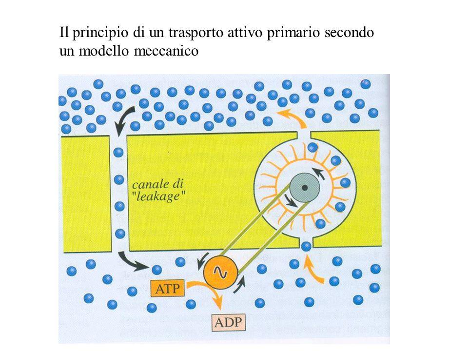 Il principio di un trasporto attivo primario secondo un modello meccanico