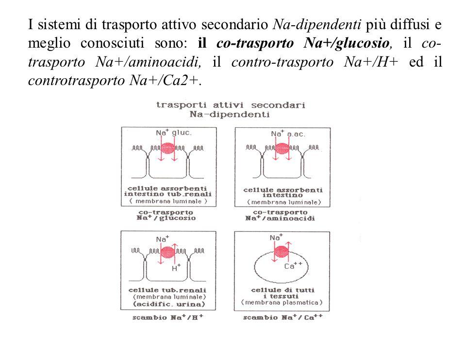 I sistemi di trasporto attivo secondario Na-dipendenti più diffusi e meglio conosciuti sono: il co-trasporto Na+/glucosio, il co- trasporto Na+/aminoa