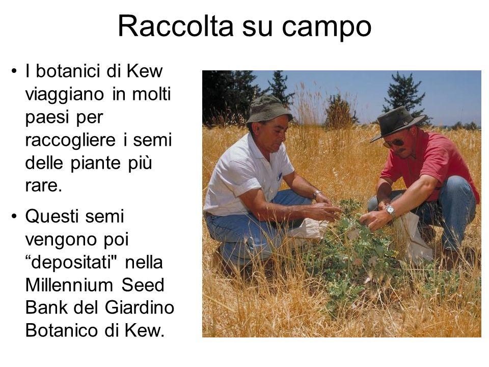 Raccolta su campo I botanici di Kew viaggiano in molti paesi per raccogliere i semi delle piante più rare. Questi semi vengono poi depositati