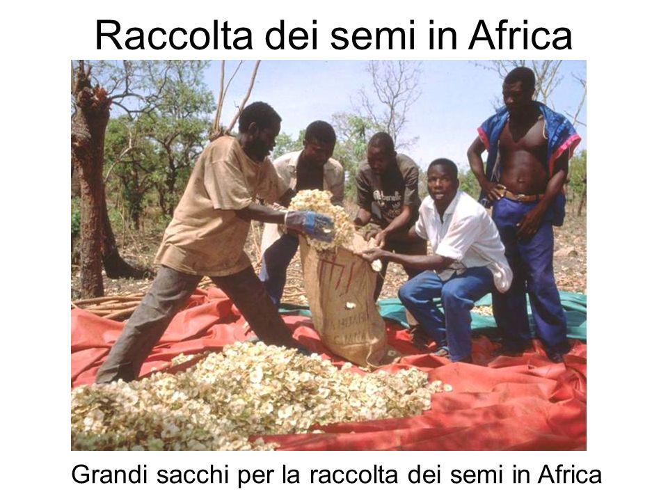 Raccolta dei semi in Africa Grandi sacchi per la raccolta dei semi in Africa