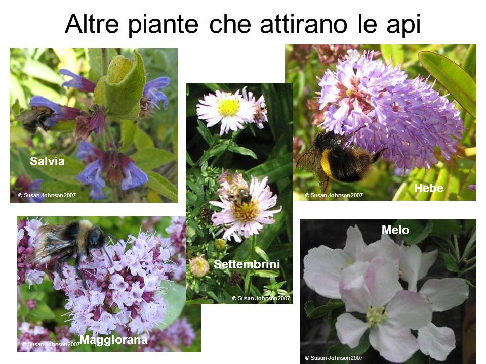 Altre piante che attirano le api Sage Hebe Salvia Maggiorana Melo Settembrini © Susan Johnson 2007