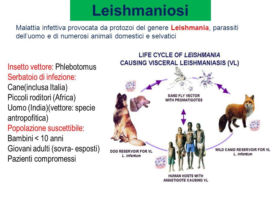 Leishmaniosi Nelluomo linfezione può determinare forme generalizzate (leishmaniosi viscerale ) o quadri clinici localizzati alla cute e alle mucose (leishmaniosi cutanea e muco-cutanea) Inoculazione Promastigote che viene fagocitato dai macrofagi cutanei, si trasforma in amastigote e si replica.