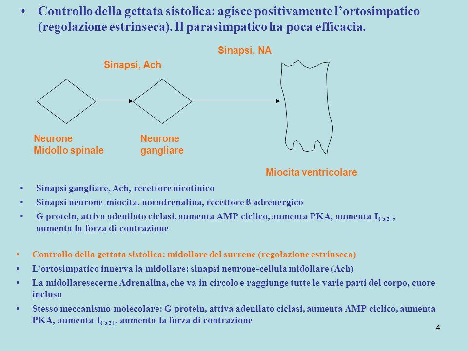 4 Controllo della gettata sistolica: agisce positivamente lortosimpatico (regolazione estrinseca). Il parasimpatico ha poca efficacia. Neurone Midollo