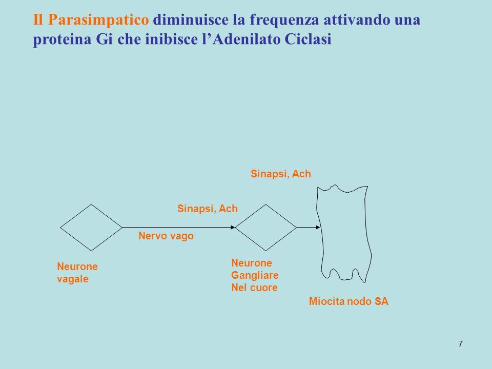 7 Neurone vagale Neurone Gangliare Nel cuore Sinapsi, Ach Miocita nodo SA Nervo vago Il Parasimpatico diminuisce la frequenza attivando una proteina G