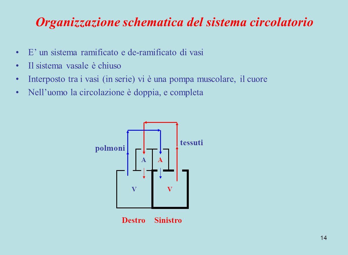 14 Organizzazione schematica del sistema circolatorio E un sistema ramificato e de-ramificato di vasi Il sistema vasale è chiuso Interposto tra i vasi
