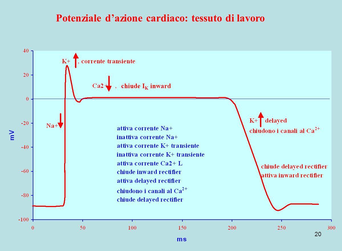20 Potenziale dazione cardiaco: tessuto di lavoro chiude I K inward