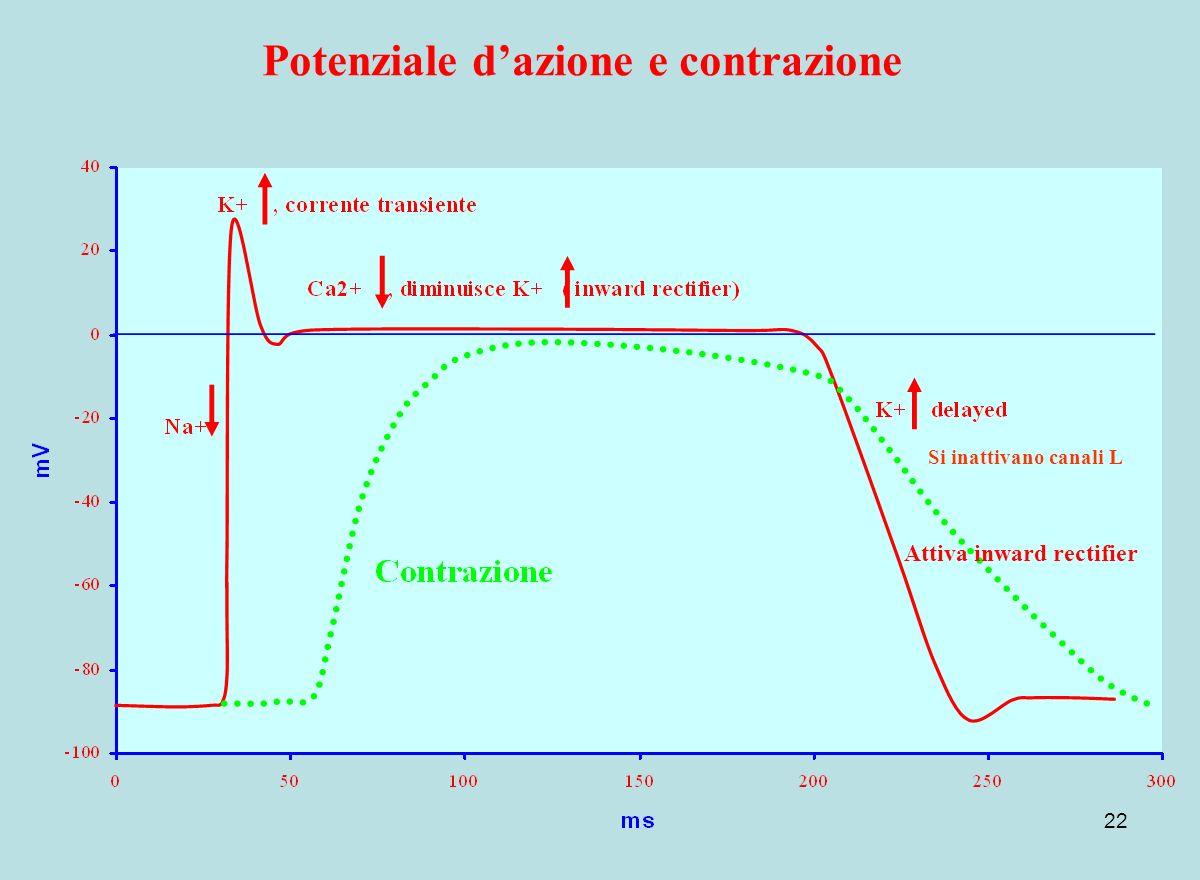 22 Potenziale dazione e contrazione Attiva inward rectifier Si inattivano canali L
