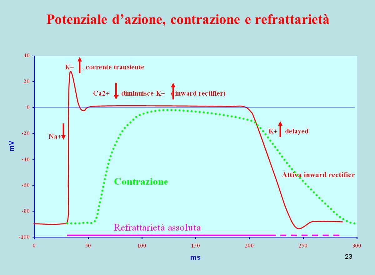 23 Potenziale dazione, contrazione e refrattarietà Attiva inward rectifier