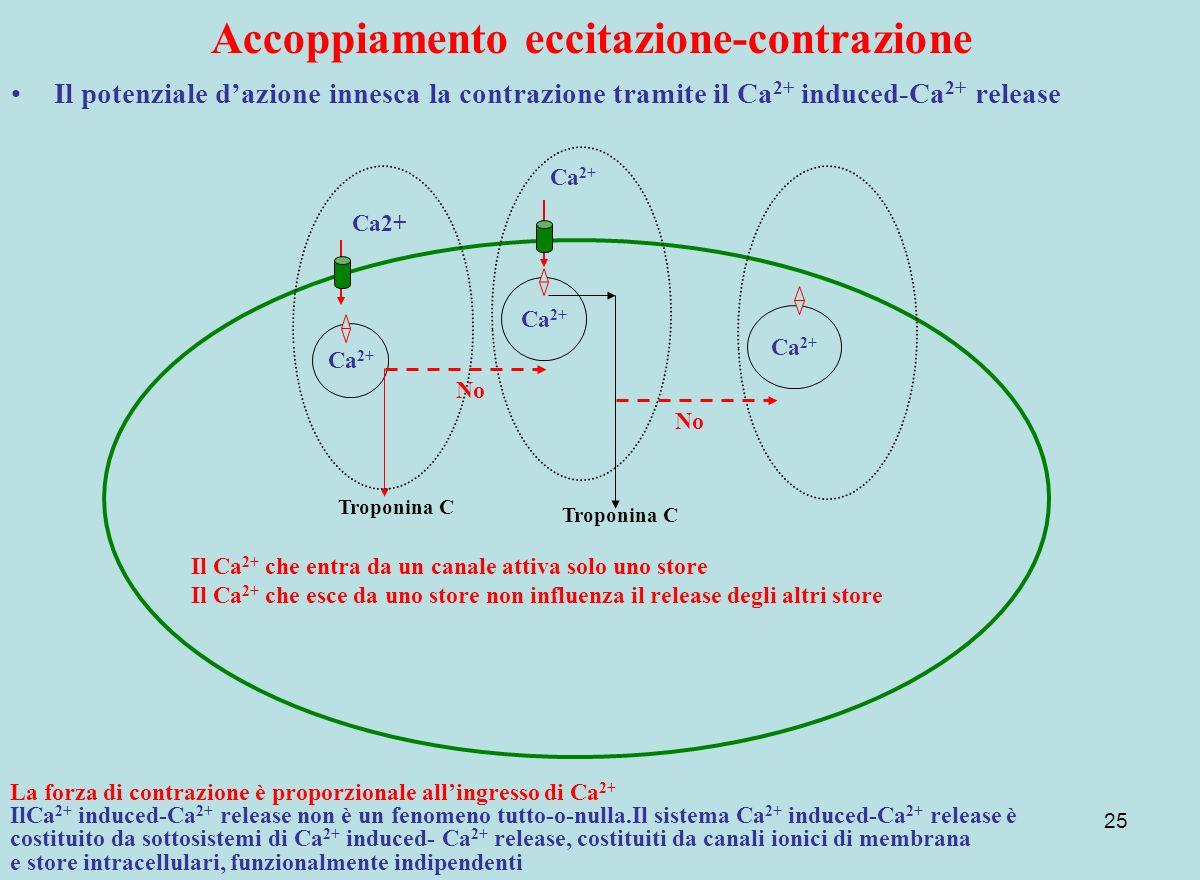 25 Accoppiamento eccitazione-contrazione Il potenziale dazione innesca la contrazione tramite il Ca 2+ induced-Ca 2+ release Ca 2+ Il Ca 2+ che entra