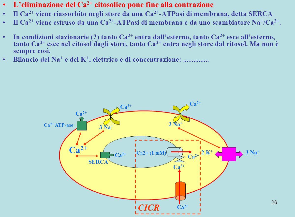 26 Leliminazione del Ca 2+ citosolico pone fine alla contrazione Il Ca 2+ viene riassorbito negli store da una Ca 2+ -ATPasi di membrana, detta SERCA